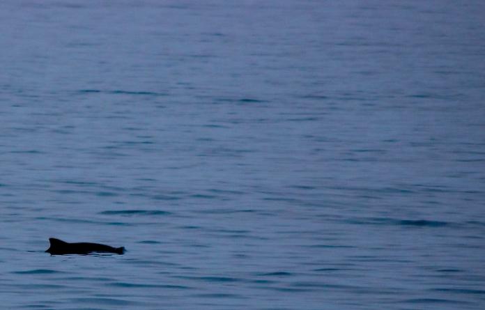 dolphin-porpoise